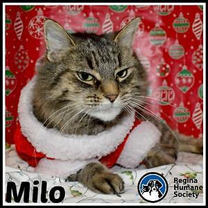 "Senior Female Cat - Domestic Short Hair: ""Milo"""