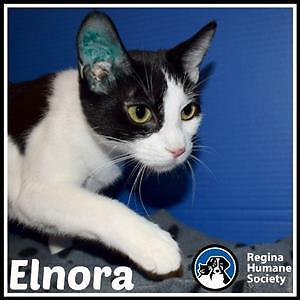 "Young Female Cat - Domestic Short Hair: ""Elnora*"""