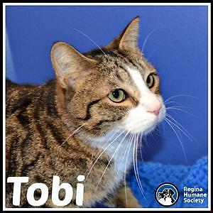 "Adult Male Cat - Domestic Short Hair: ""Tobi"""