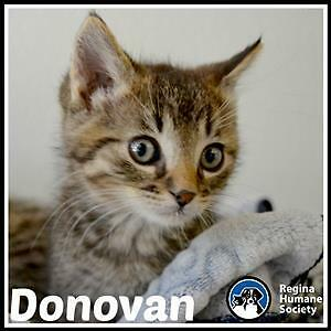 "Baby Male Cat - Domestic Short Hair: ""Donovan*"""