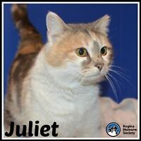 """Young Female Cat - Domestic Short Hair: """"Juliet*"""""""