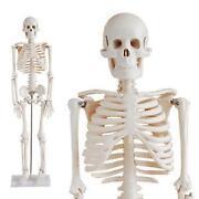 Anatomie Skelette