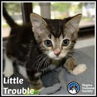 """Baby Male Cat - Domestic Short Hair: """"Little Trouble*"""""""