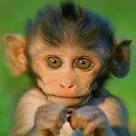 Notable Monkey