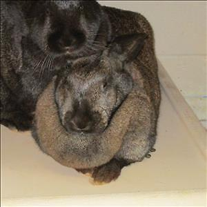 "Young Female Rabbit - Californian: ""Duchess"""