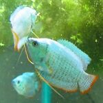 TRiNs Tropical Fish