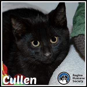 """Baby Male Cat - Domestic Short Hair: """"Cullen*"""""""