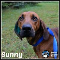 "Young Female Dog - Bloodhound-Redbone Coonhound: ""Sunny"""