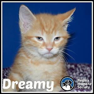 """Baby Male Cat - Domestic Short Hair: """"Dreamy*"""""""