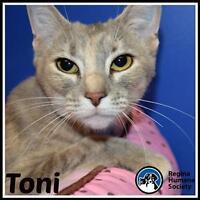 "Young Female Cat - Domestic Short Hair: ""Toni*"""