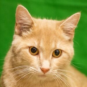 MEOW Foundation's gentle Lupine looking for purrfect match!