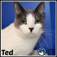 """Adult Male Cat - Domestic Short Hair: """"Ted"""""""
