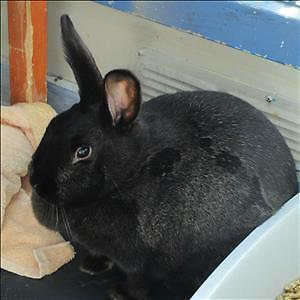"Young Female Rabbit - Californian: ""Gemini"""