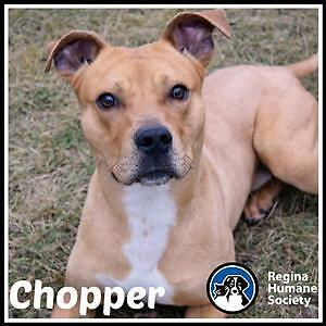 "Young Male Dog - American Staffordshire Terrier: ""Chopper"""