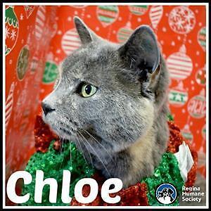 """Senior Female Cat - Domestic Short Hair: """"Chloe"""""""