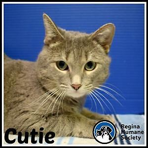 "Adult Male Cat - Domestic Short Hair: ""Cutie*"""