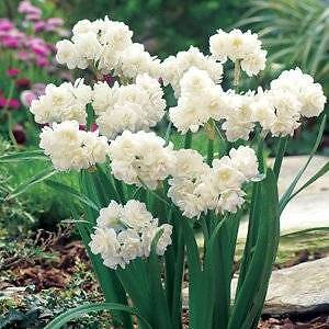 JONQUILL EARLICHEER BULBS $5 per 10 - lots available Bentleigh East Glen Eira Area Preview