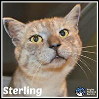"Adult Male Cat - Domestic Short Hair: ""Sterling*"""