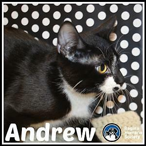 """Young Male Cat - Domestic Short Hair: """"Andrew*"""""""