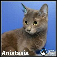 Young Female  - Domestic Short Hair-Russian Blue