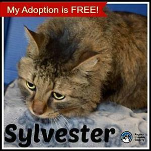 "Senior Male Cat - Domestic Medium Hair: ""Sylvester"""