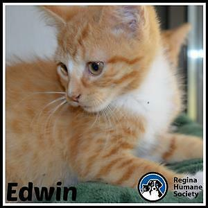 "Baby Male Cat - Domestic Short Hair: ""Edwin*"""