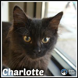 "Baby Female Cat - Domestic Medium Hair: ""Charlotte*"""