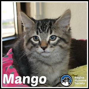 "Baby Male Cat - Domestic Short Hair: ""Mango*"""