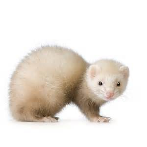 Male Ferret For Sale