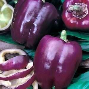 Purple Beauty Sweet Belle Pepper Seeds Peterborough Peterborough Area image 2
