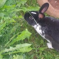 """Young Male Rabbit - American: """"Mr. Bunns"""""""
