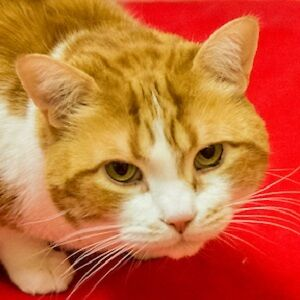 MEOW Foundation's beautiful Doc looking for purrfect match!