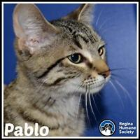 """Young Male Cat - Domestic Short Hair: """"Pablo*"""""""