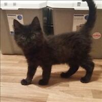 "Baby Male Cat - Domestic Medium Hair: ""Apple (b)"""