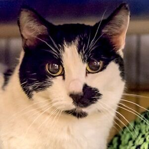 MEOW Foundation's darling Briquette looking for purrfect family!