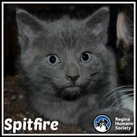 """Baby Female Cat - Domestic Short Hair: """"Spitfire*"""""""