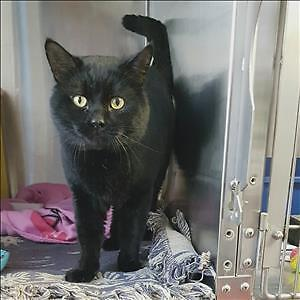 """Adult Male Cat - Domestic Short Hair: """"Rolo"""""""
