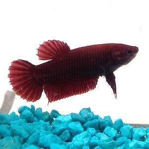 Betta fish aquariums ebay for Betta fish toys