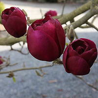 Magnolias, Japanese Maples and more