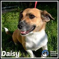 "Adult Female Dog - Corgi: ""Daisy*"""