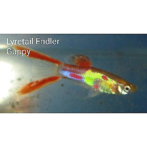 Guppies (3 for $5)