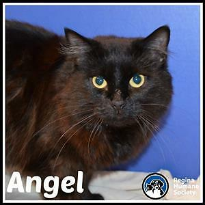 "Adult Female Cat - Domestic Medium Hair: ""Angel*"""