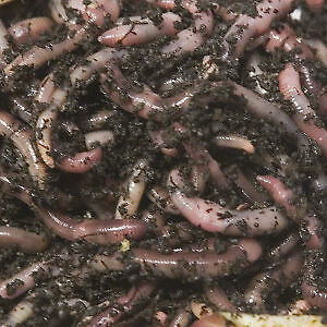 Red worms vermicomposting or fishing Regina Regina Area image 1