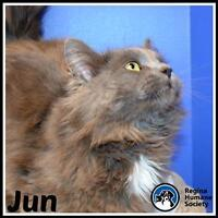 "Adult Male Cat - Domestic Medium Hair: ""Jun*"""