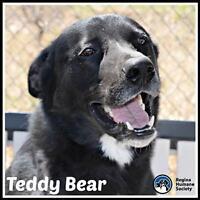 "Adult Male Dog - Shepherd: ""Teddy Bear"""