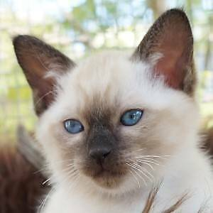 Ragdoll x Tonkinese Kittens