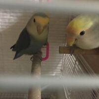 breeding pair of lovebirds