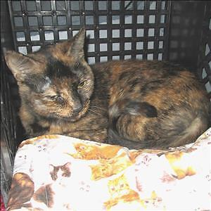 "Senior Female Cat - Domestic Short Hair: ""Mistee"""