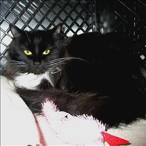 "Young Female Cat - Domestic Medium Hair: ""Natasha"""