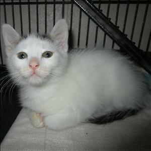 "Baby Female Cat - Domestic Short Hair: ""Amelia"""